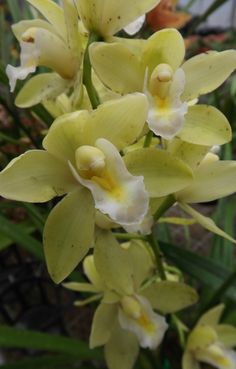 Cymbidium orchid - delicate colors and slight herbal scent
