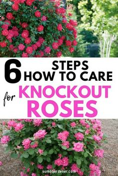 Learning how to care for Knockout Roses is very easy. They are designed to tolerate heat and are hardy and durable. Learning how to care for Knockout Roses is very easy. They are designed to tolerate heat and are hardy and durable. Knockout Roses Care, Pruning Knockout Roses, Double Knockout Roses, Knockout Rose Tree, Gardening For Beginners, Gardening Tips, Container Gardening, Balcony Gardening, Outdoor Plants