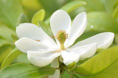 Sweet Bay Magnolia; my favorite Mississippi blooms