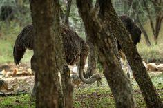 Camelus, The Ostrich, Flightless Bird, Bird Species, Stand Tall, Africa, Birds, Facts, Legs