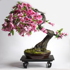 Bonsai tree cherry (sakura)