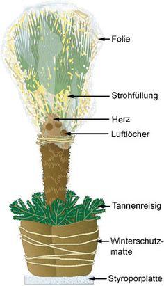 Hanfpalme Winterschutz