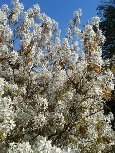Juneberry: another of those blink-and-you-miss-it blossom trees