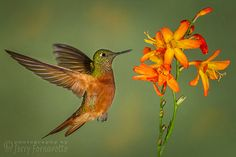 Jerry Fornarotto posted a photo:  This is a copyright photo. If you wish to purchase this photo or any other of my fine art prints, please visit my website at; www.jerryfornarotto.artistwebsites.com  Fawn-breasted Brilliant Hummingbird approaching Crocosmia.