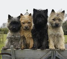Frau Buchholz - a well-behaved group of Cairn Terriers. Cairn Terrier Welpen, Cairn Terrier Puppies, Terrier Dog Breeds, Cairns, Norwich Terrier, Little Dogs, Outdoor Dog Toys, West Highland Terrier, Dogs And Puppies