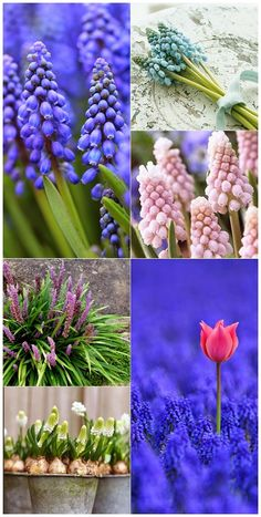 Blue, pink, purple and white Muscari spring flowers in all their beauty