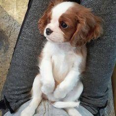 cavalierworldさんはInstagramを利用しています:「Adorable baby @teddy.the.cavalier _ _ tag & @cavalierking_life ❤ _ _ From @cavalierking_life #cavalier #cavalierskingcharlesspaniels…」