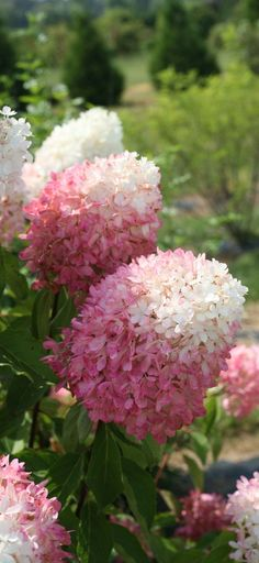 Zinfin Doll hydrangea is a beautiful new hardy hydrangea with loads of bodacious blooms that emerge pure white and then turn bright pink from the bottom up. Flowers eventually age to a dark pink-red, and stay colorful for months.