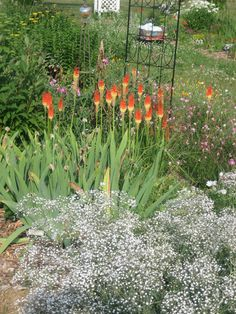 Kniphofia, or torch lily