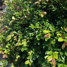 Syzygium Lilly Pilly Resilience - Compact tightly growing pale green foliage that emerges with a reddish bronze tinge. Excellent for hedging and screening. Fast growing for instant results, to 5m. Psyllid resistant. White flowers and white edible fruit. Our most popular lillypilly