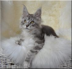 Maine Coon Kitten | Cattery Conikacoon | The Netherlands