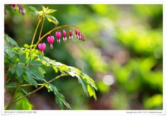 Bleeding heart.(금낭화) by JAMES-CORY™  on 500px
