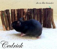 Cedrick chs in blue hamster Rabbit, Blue, Animals, Animales, Animaux, Rabbits, Bunny, Bunnies, Animal