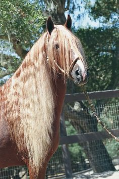 Peruvian Pasos are know for their unltra-smooth gaits, kind temperaments, charisma, and, like this handsome fellow, their luxurious manes an...