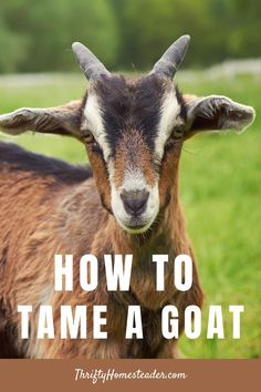 If you bought a goat or two that isn't as friendly as you'd like, here are some tips for convincing them that you are not going to eat them. #raisinggoats #keepinggoats Buy A Goat, Breeding Goats, Goat Shelter, Prey Animals, Raising Goats, Curious Creatures, Baby Goats, Family Dogs, Do It Right