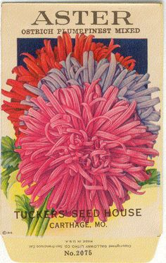 ASTER Ostrich Plume Vintage Flower Seed Packet by gardenlelah