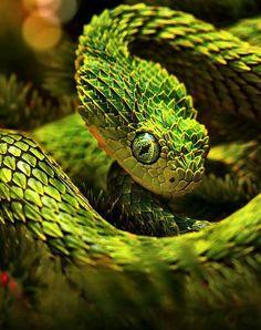 Pit #Viper. #snake #reptile