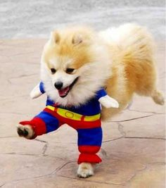 16 Cute And Adorable Dogs Dressed Up As Superheroes 14