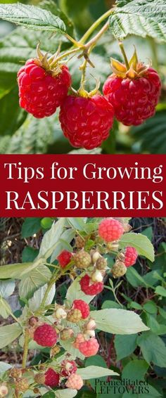 Tips for Growing Raspberries, including how to plant raspberries, how to grow raspberries in containers, and how to harvest and divide raspberries. #OrganicGardeningTips