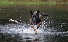 belgian malinois - yes apparently they can run on top of the water that's how good they are lol. I want one, though two would be nicer.