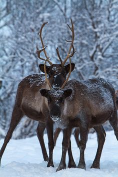 Siamese reindeer in northern Norway • photo: Anders Hanssen on Alamy