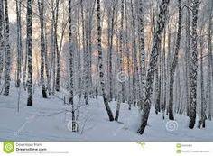Image result for birchwood tree