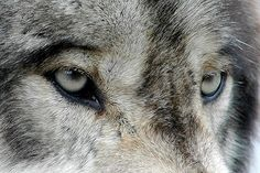 Jason Rosenberg lays on the ground and frolics with a full-grown wolf named Istas Pejuta, which means Medicine Eyes in the Native American language known as Lakotan. Narnia, Harry Potter, Teen Wolf, Angel Demon, Half Elf, Of Wolf And Man, Solas Dragon Age, Jace Lightwood, Timberwolf