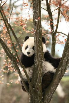 Some daily photos of giant panda