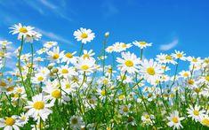 Luonnonkukat Suomessa – testaa, kuinka monta tunnistat!   Anna.fi Flower Wallpaper, Cool Wallpaper, Daisy Field, Popular Flowers, Pretty Flowers, Good Things, Plants, Image, Instagram