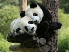 Giant Panda Hug