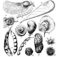 Natural form. Seedpods.