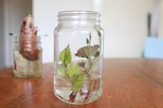How to grow sweet potato slips 4. Little eco footprionts