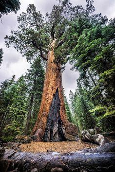 Mariposa Grove is a sequoia grove near Wawona California US in Yosemite…