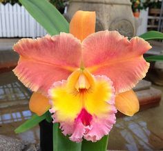 Rhyncholaeliocattleya Judith Lynn Hausermann 'Marty' (Hausermann's Treasure x Marquette Canary) Beautiful Rose Flowers, Unusual Flowers, Rare Flowers, Amazing Flowers, Orchid Plants, Exotic Plants, Orchids, Tropical Flowers, Imagen Natural