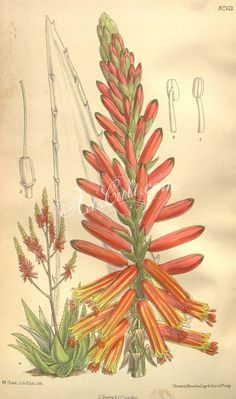 """Windhoek Aloe, Mapone Aloe - Aloe littoralis - Littoralis means """"of the sea shore"""" in reference to where it was first found in Angola - It appears on the emblem of Angola's capital (Windhoek City) and on the country's 5 cent coin - circa 1909 Botanical Drawings, Botanical Illustration, Botanical Prints, Family Illustration, 5 Cents, Plant Nursery, Vintage Artwork, Aloe, Pink Flowers"""