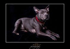 French Bulldog, Pitbulls, Dogs, Photography, Animals, Photograph, Animales, Pit Bulls, Animaux