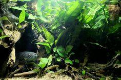 Snakehead Fish, Aquariums, Atlantis, Terrarium, Plant Leaves, Design, Tanked Aquariums, Terrariums