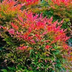 Nandina domestica Gulf Stream - Heavenly Bamboo - Large Specimen
