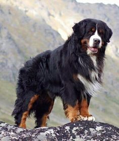 Hottest Screen bernese mountain dogs big Suggestions Upwards of several years, the actual Bernese Mountain Dog is a huge foundation regarding plantation lif Love Dogs, Big Dogs, Dogs And Puppies, Doggies, Beautiful Dogs, Animals Beautiful, Bernese Dog, Bernese Mountain Dogs, Entlebucher
