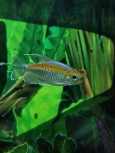 Congo Tetra Fish