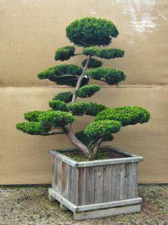 Hiller: your garden in shape - Japanese Garden Design Bonsai Tree Types, Indoor Bonsai Tree, Bonsai Art, Bonsai Plants, Modern Japanese Garden, Japanese Garden Plants, Japanese Tree, Topiary Garden, Bonsai Garden