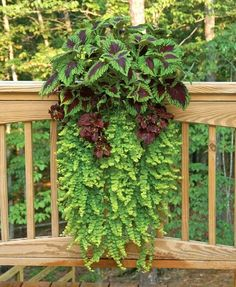 Sweet potato vine with coleus, creeping jenny wall planter mounted on deck railing. Sweet potato vine with coleus, creeping jenny wall planter mounted on deck railing. Container Flowers, Container Plants, Container Gardening, Gardening Vegetables, Window Planter Boxes, Planter Ideas, Porch Planter, Deck Railing Planters, Shade Plants