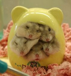 Hamster House is Over Capacity! via Cutest Paw :)