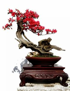 Providing the best care to your bonsai tree will help prolong its life – find out how. Bonsai Tree Price, Buy Bonsai Tree, Japanese Bonsai Tree, Bonsai Trees For Sale, Bonsai Tree Care, Bonsai Tree Types, Indoor Bonsai Tree, Mini Bonsai, Bonsai Garden