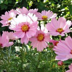 Cosmos FlowersCut FlowersFall FlowersWhite FlowersWedding FlowersPom Pom FlowersAnnual FlowersFlower GardeningCut Flower Garden