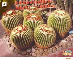 Já ouviu falar no Cacto Bola (Echinocactus Grusonii)? Essa espécie conhecida pelo nome de cadeira de sogra é ideal para cultivo em regiões de clima quente.