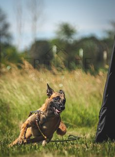 canismirabilis: IPO malinois doing blind search. - QUALITY DOGS