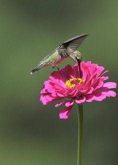 Simply Beautiful God's Creature! Ruby-throated Hummingbird and zinnia flower