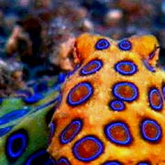 Blue Ringed Octopus (via pbs)
