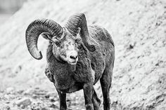 a beautiful ram!!